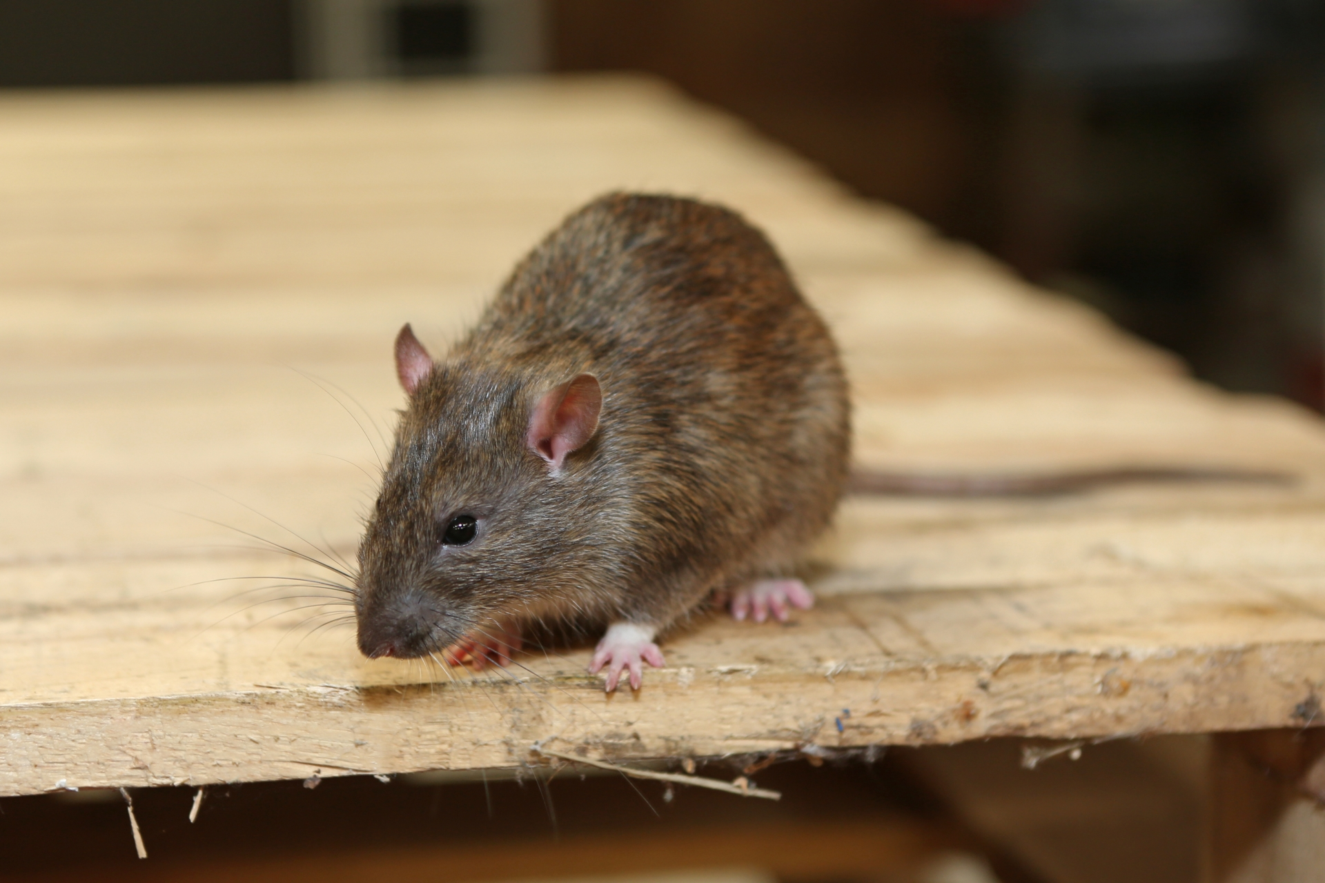 Rat Infestation, Pest Control in Manor Park, E12. Call Now 020 8166 9746