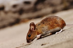 Mouse extermination, Pest Control in Manor Park, E12. Call Now 020 8166 9746